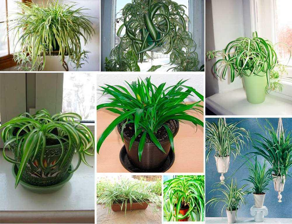 hlorofitum-raznie-razmeri