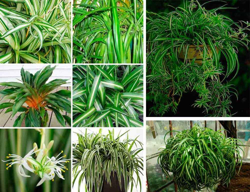 hlorofitum-vidi