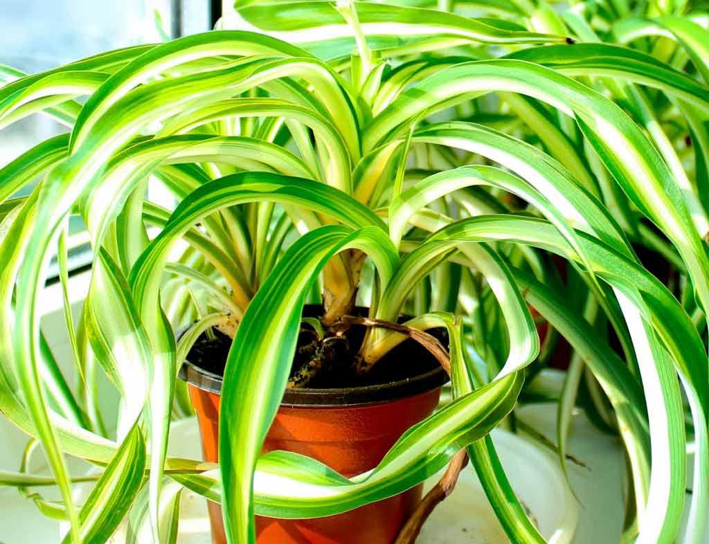 hlorofitum-zvetok