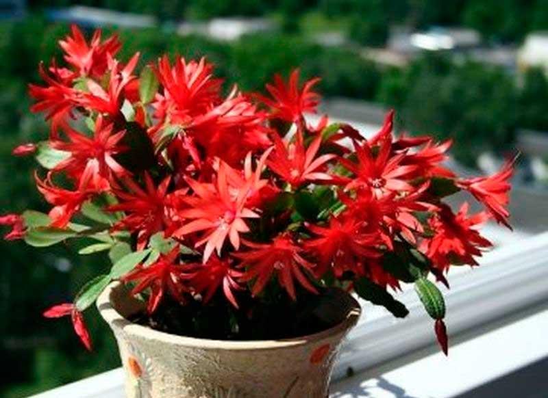 shlumbergera-russeliana