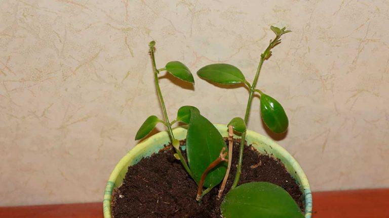 Эсхинантус уход и размножение в домашних условиях