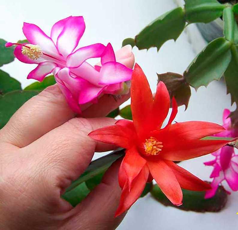 otlichiya-shlumbergeri-i-ripsalidopsisa-forma-cvetka6