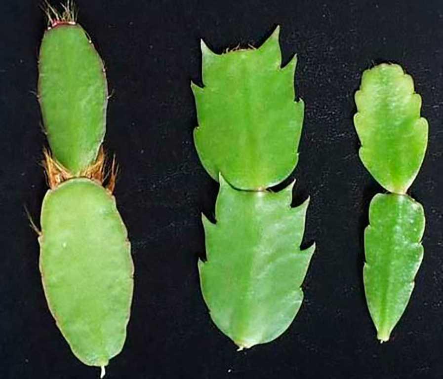 otlichiya-shlumbergeri-i-ripsalidopsisa5