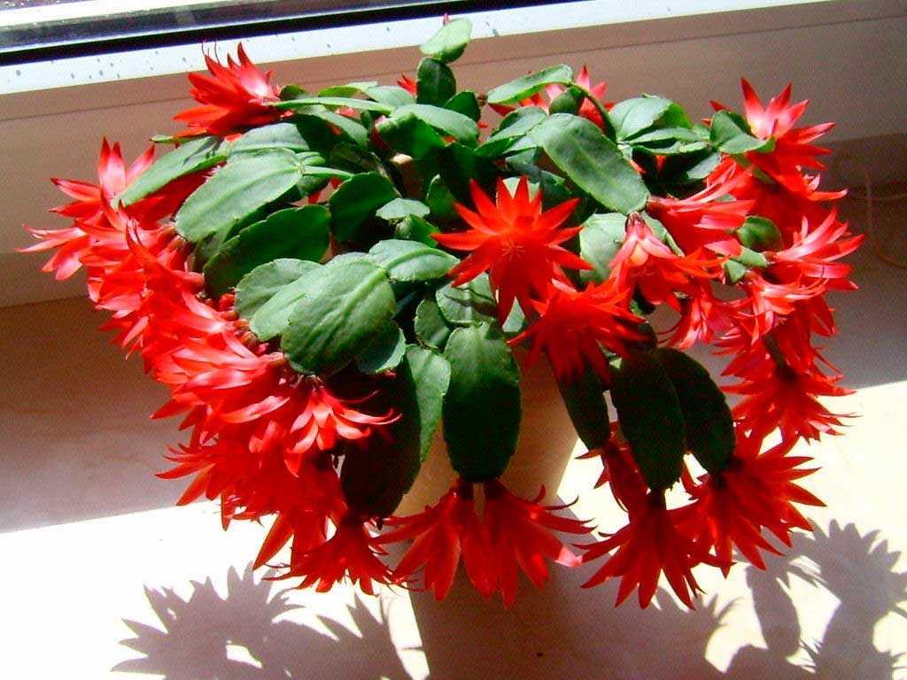 ripsalidopsis-garnera7