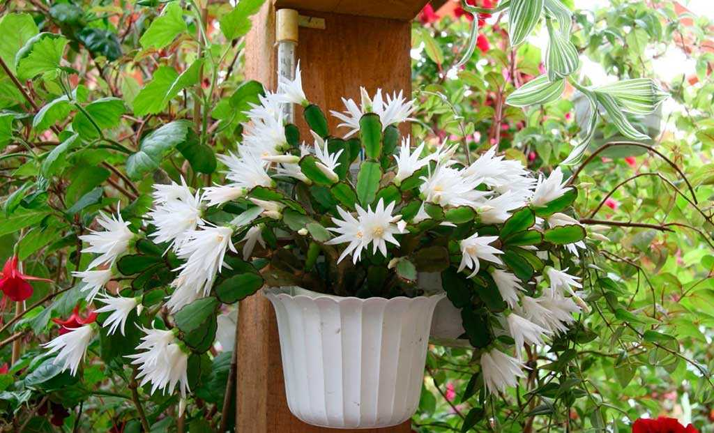 ripsalidopsis-rastenie2-2
