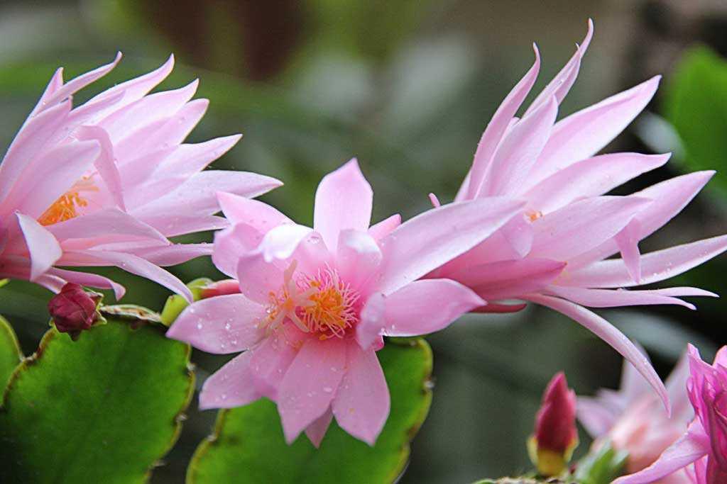 ripsalidopsis-rozovii8