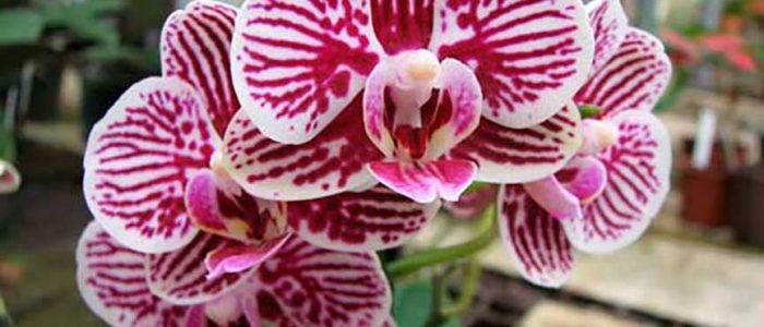 Орхидея фаленопсис белая с розовыми полосками фото