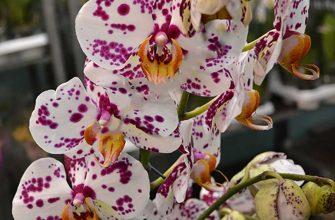 Орхидея фаленопсис белая с пятнышками фото