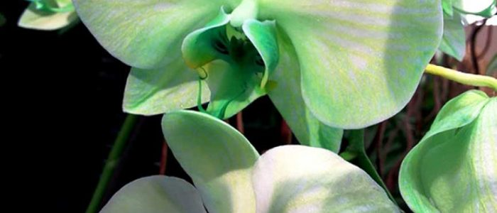 Орхидея фаленопсис зеленая фото