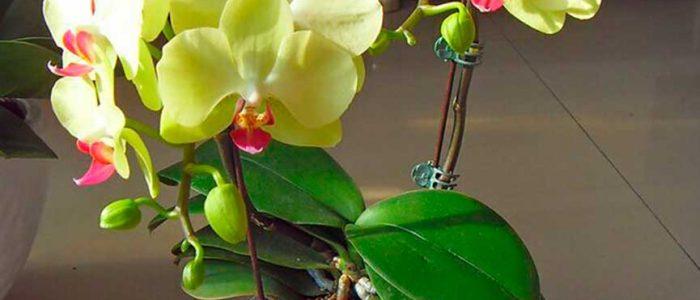 Орхидея фаленопсис желтая фото
