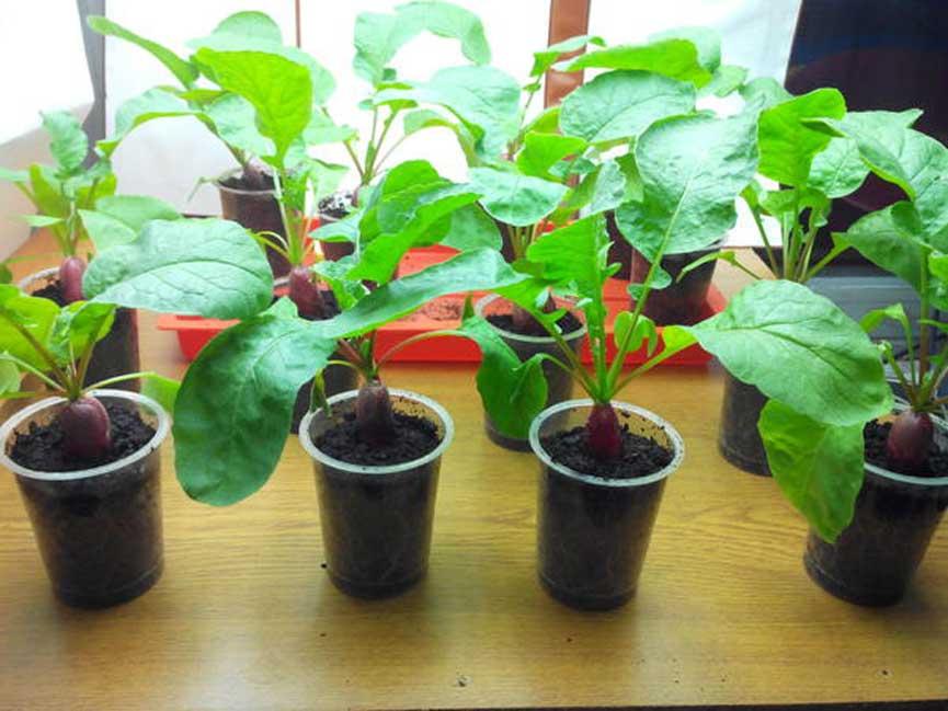 Редиска на подоконнике выращивание в домашних условиях.