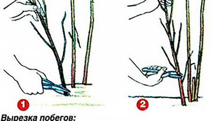 Выращивание и уход за малиной ремонтантной 716