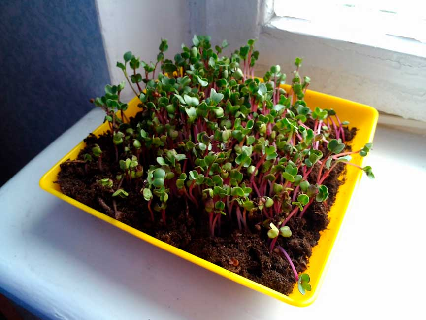 ростки-редиса-фото